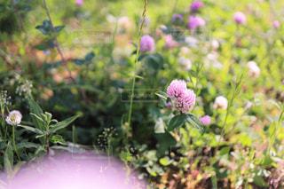 陽だまりの赤詰草・紫詰草(ピンク+)の写真・画像素材[3207367]