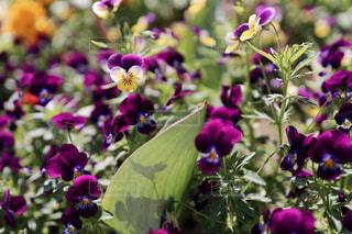 深紫色のビオラの写真・画像素材[3209766]