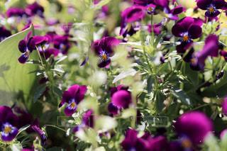 深紫色のビオラの写真・画像素材[3209844]