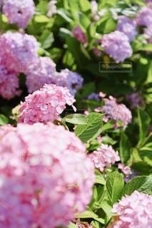 シュガー ピンクの紫陽花たちの写真・画像素材[3458836]