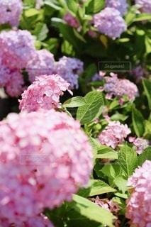 シュガー ピンクの紫陽花たちの写真・画像素材[3458838]