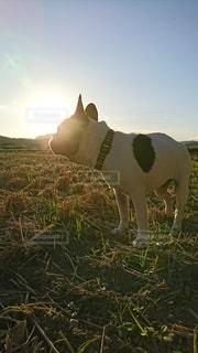 犬,空,夕日,動物,屋外,太陽,光,田んぼ
