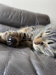 猫,動物,ペット,寝る,人物,ソファ,睡眠,お昼寝,ネコ