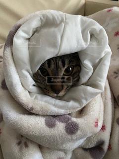 猫,動物,かわいい,ペット,毛布,隠れんぼ,ネコ,グルグル,黒トラ