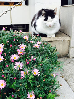 猫,花,動物,ペット,人物,座る,三毛,ブチ,ネコ