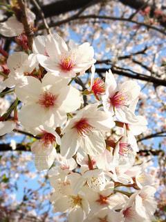 花,春,桜,桜の花,ソメイヨシノ,さくら,ブロッサム