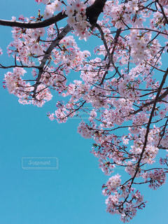 空,花,春,桜の花,さくら,ブロッサム
