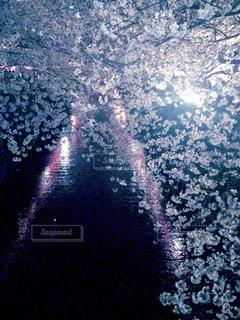 桜,水面,夜桜,ライトアップ,さくら,ブロッサム