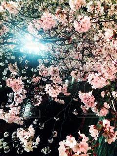 花,春,桜,夜桜,ライトアップ,桜の花,さくら,ブロッサム