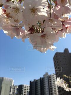 空,花,春,桜,花見,お花見,都会,ブロッサム