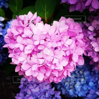 紫色の花のクローズアップの写真・画像素材[4556141]