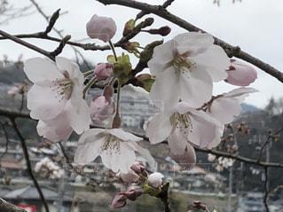 春,屋外,サクラ,桜の花,さくら