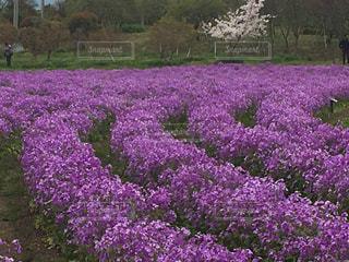 大きな紫色の花が庭にあるの写真・画像素材[3074474]