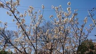 花,桜,屋外,枝,樹木,ミツバチ,草木,ブロッサム
