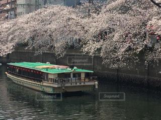 花,春,桜,木,ボート,船,川,花見,お花見,イベント