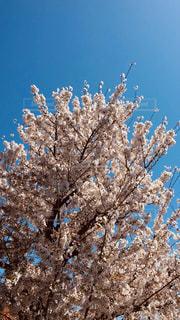 空,花,春,桜,木,晴天,青い空,花見,お花見,イベント,ブロッサム