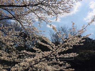 自然,空,花,春,桜,木,雲,晴天,青い空,花見,お花見,イベント,桜の花,さくら,ブロッサム