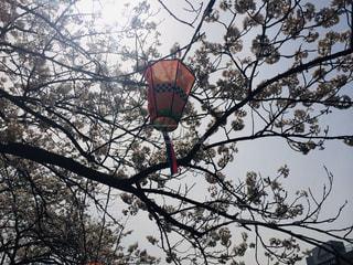 空,花,春,桜,木,屋外,花見,お花見,提灯,イベント,祭り