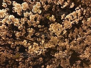 夜の桜の写真・画像素材[2671779]