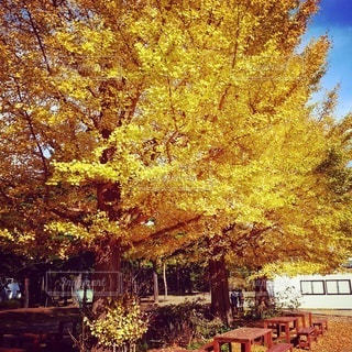 大きな銀杏の木の下での写真・画像素材[2664450]