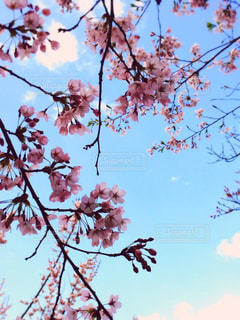 空,花,春,桜,木,屋外,ピンク,雲,青空,花見,お花見,イベント,草木,透明感,桜の花,さくら,ブロッサム