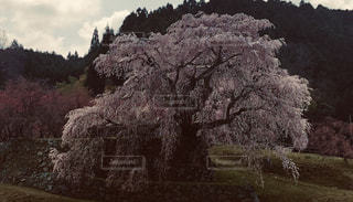又兵衛桜の写真・画像素材[2911566]