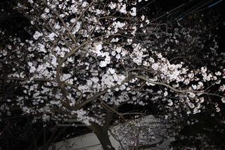 花,桜,屋外,景色,満開,樹木