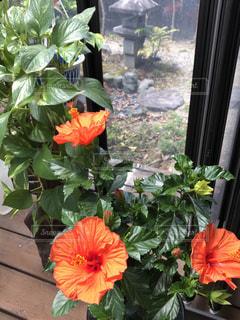 温室で咲く花の写真・画像素材[2728840]