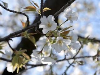 花,春,桜,屋外,綺麗,青空,葉,白い花,爽やか,樹木,草木,ブルーム,ブロッサム,オオシマザクラ