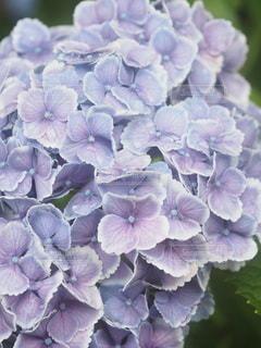 薄紫のあじさいの写真・画像素材[3380807]