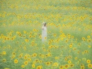 ひまわり畑の女の子2の写真・画像素材[3494909]