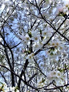 空,花,春,桜,木,散歩,花見,樹木,お花見,イベント,草木,桜の花
