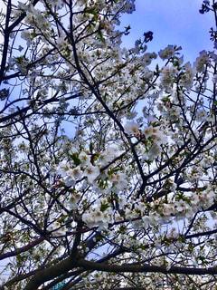 空,花,春,桜,木,屋外,散歩,葉,花見,樹木,お花見,イベント,草木,日中,ブロッサム