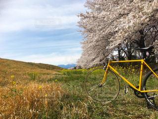 自転車,花見,土手,サイクリング,ピスト,サムソン