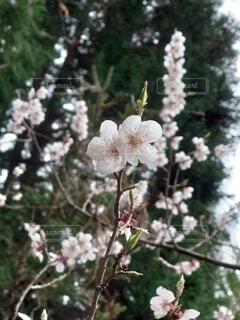 木の枝に花瓶の写真・画像素材[4360502]