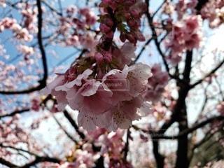 花,春,屋外,樹木,桜の花,さくら,ブロッサム