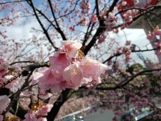 空,花,春,ピンク,樹木,桜の花,さくら,ブロッサム