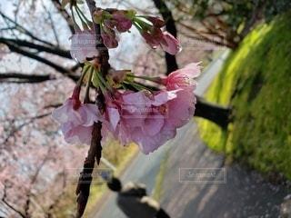 花,春,桜,屋外,樹木,ブロッサム