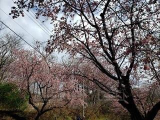 花,屋外,桜の花,日中,さくら,ブロッサム