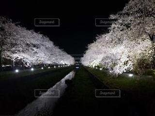 花,桜,水面,夜桜