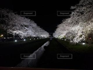 花,桜,夜,屋外,夜桜