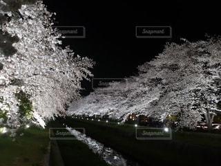 花,桜,屋外,夜桜