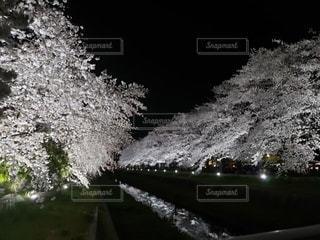 自然,花,桜,屋外,夜桜