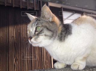 猫,動物,チェック,ペット,人物,日本家屋,見つめる,三毛猫,古い家,獲物,ネコ,ミケ,注目,凝視