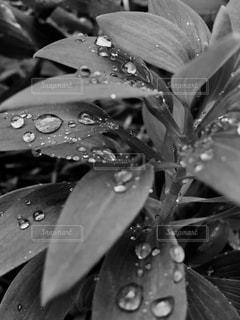 葉と露のクローズアップの写真・画像素材[2805399]