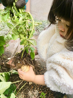 じゃがいもを収穫する子どもの写真・画像素材[2825277]