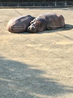 お昼寝するかばの写真・画像素材[2985536]