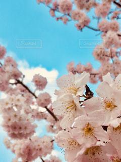 風景,空,花,春,ピンク,景色,鮮やか,満開,たくさん,桜の花,さくら,ブロッサム
