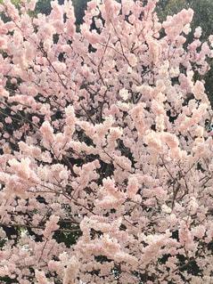 花,春,ピンク,満開,桜の花,さくら,ブロッサム