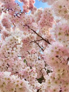 花,春,ピンク,鮮やか,満開,桜の花,さくら,ブロッサム
